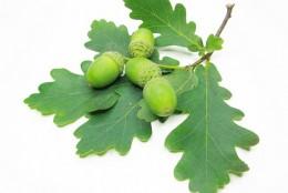 Пригода дубового листочка