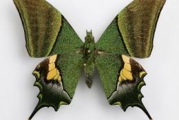 Такий важливий метелик