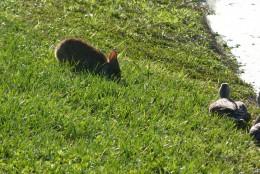 Качечка Крячечка і заєць Задирака