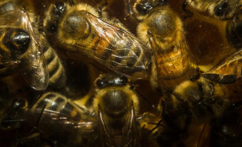 Кабан та бджоли
